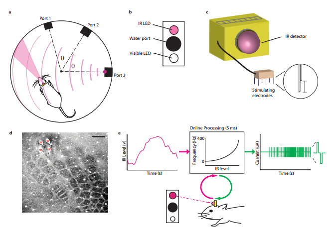 Researchers Give Lab Rats Terminator-Like Infrared Vision